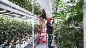 California cannabis security